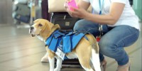 Nowe stanowisko w liniach KLM objął …pies! [Video HR]